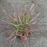 Pennisetum 'Cherry Sparkler' (Grass) - 3ltr pot