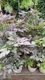 Actaea simplex 'Brunette' - 2ltr pot