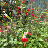 Salvia 'Hot Lips' - 2ltr pot