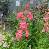 Penstemon 'Hewell's Pink' - 2 ltr pot