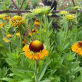 Helenium Sahins 'Early Flowerer'- 3ltr pot