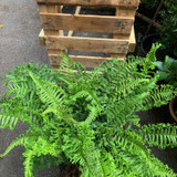 Dryopteris 'The King' (Fern) - 10ltr pot