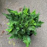 Polystichum setiferum 'Congestum' (Fern) - 10 ltr pot