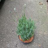 Lavender 'Munstead' - 3 ltr pot
