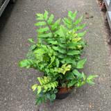 Cyrtomium Fortunei (Fern) - 3ltr pot