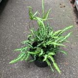 Pteris Nipponica (fern) - 3ltr pot