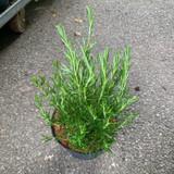 Rosemary 'Tuscan Blue' (Rosmarinus) - 3ltr pot