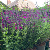 Salvia 'Amethyst Lips' - 3 litre pot