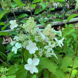 Hydrangea 'Levanna' - 3ltr pot