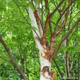 Betula albosinensis 'Fascination' - 15ltr pot