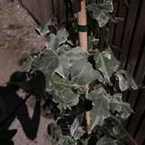 Hedera Helix 'Glacier' (Ivy) - 4.5ltr pot