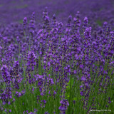 Lavender angustifolia 'Hidcote' - 2ltr pot