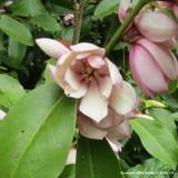 Magnolia 'Fairy Blush' - 3ltr pot