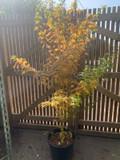 Acer palmatum 'Bi hoo' - 32ltr pot