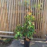 Cornus hongkongensis - 7ltr pot
