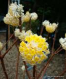 Edgeworthia chrysantha 'Grandiflora' - 5ltr pot