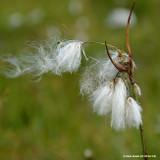 Eriophorum angustifolium - 3ltr potper