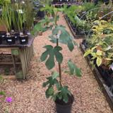 Ficus 'Osborne Prolific' (Fig)- 3ltr pot