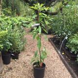 Gordlinia grandiflora - 5ltr pot
