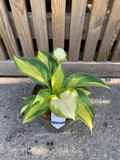 Hosta 'Great Expectations' - 3ltr pot