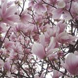 Magnolia 'Heaven Scent' - 60ltr