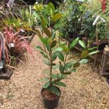 Magnolia grandiflora 'Francois Treyve' - 10ltr pot
