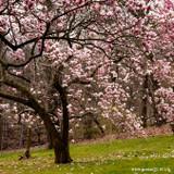 Magnolia soulangeana 'Rustica Rubra'- 20ltr
