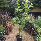 Magnolia soulangeana 'Lennei alba' - 20ltr pot