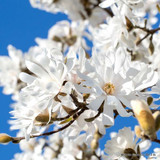 Magnolia stellata - 10ltr pot