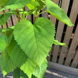 Morus nigra (Black Mulberry) - 3ltr pot