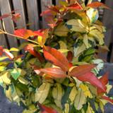 Trachelospermum asiaticum 'Ogon Nishiki' - 4ltr pot