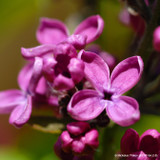Syringa vulgaris 'Charles Joly' - 3ltr pot