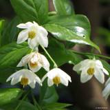 Sinojackia xylocarpa - 5ltr pot