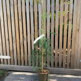 Sequoiadendron giganteum 'Pendulum' - 3ltr pot