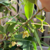 Schisandra propinqua var sinensis