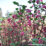 Ribes sanguineum 'Red Bross' - 3ltr pot
