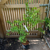 Punica granatum 'Plena' (Pomegranate) - 5ltr pot