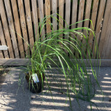 Pennisetum 'Black Beauty' (Grass) - 3ltr pot