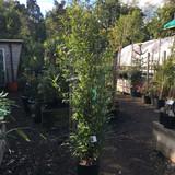 Phyllostachys nigra (Black Bamboo) 175/200cm