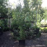 Phyllostachys nigra (Black Bamboo) 180cm