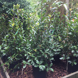 Photinia 'Red Robin' - 30ltr (5ft)