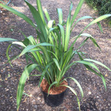 Phormium 'Yellow Wave' - 5ltr