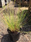 Stipa gigantea (Golden Oat Grass) - 5ltr