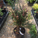 Berberis darwinii (Darwin's barberry) - 10ltr