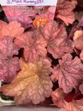 Heuchera 'Berry Smoothie ' - 3ltr pot