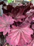 Heuchera hybrida 'Wild Rose' - 3ltr pot