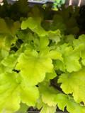 Heuchera Lime Marmalade 3ltr