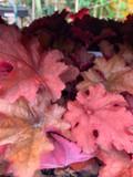 Heuchera Indian Summer 'Cranberry' 3ltr pot