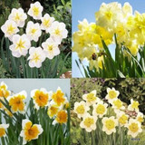 Split Corona Narcissi x 'Mixed'