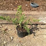 Ceanothus 'Blue Mound' (Californian Lilac) - 3ltr